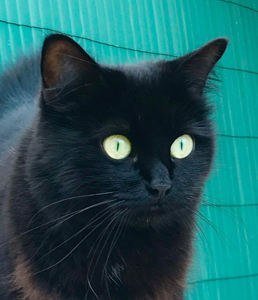 Photo in Animal #blackcat #catseyes #cat