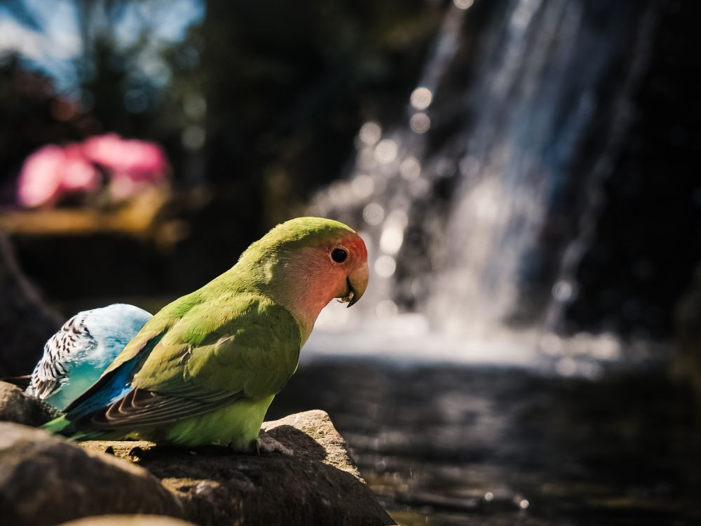 Photo in Animal #lovebird #animals #cute #waterfall #water #flowers #vibrant #colorful #wildlife #birds #feathers #flying