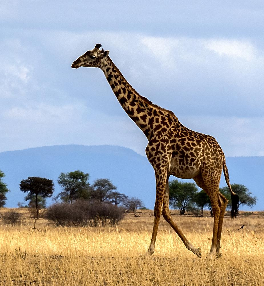 Photo in Nature #giraffe #tanzania #wild