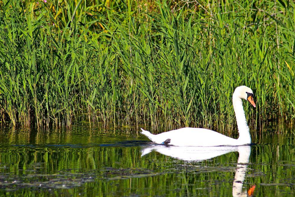 Photo in Animal #swan #nature #lake #animal #park #denmark #ballerup