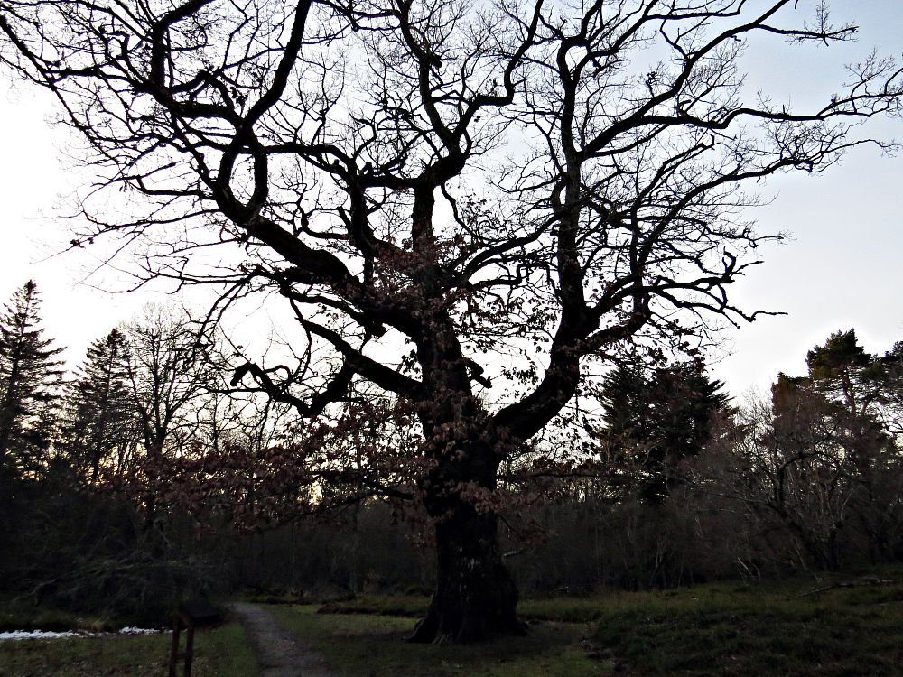 Photo in Random #tree #trees #oak #nature #december