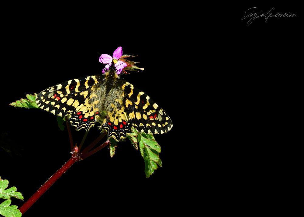 Photo in Animal #zerynthia rumina #spanish festoon #borboleta carnaval #quinta do pisão #sérgio guerreiro
