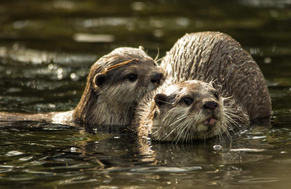 Photo in Nature #otters