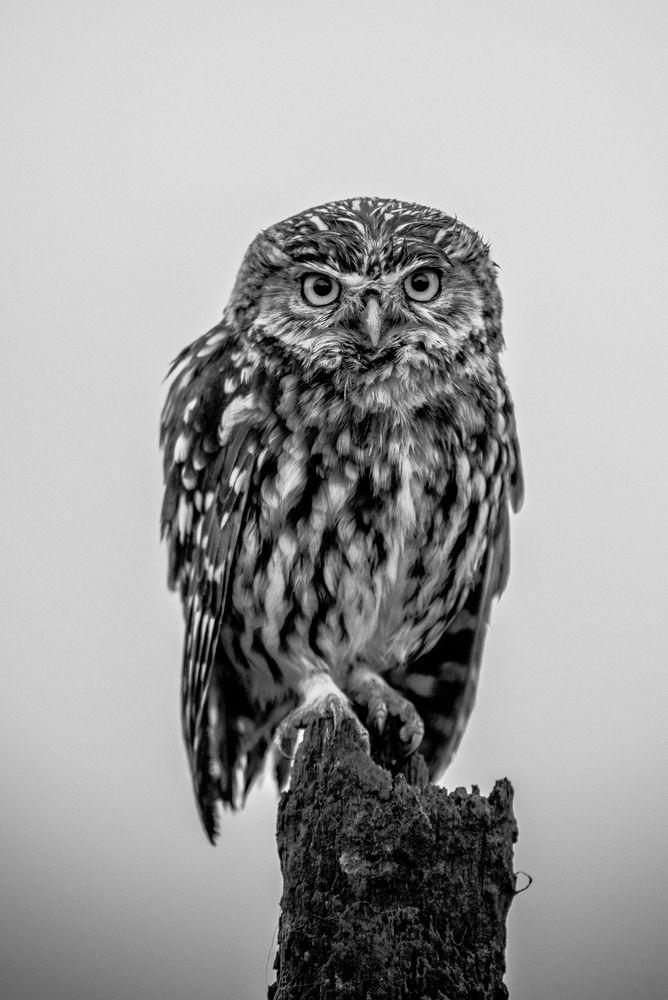 Photo in Black and White #owl #owl #little owl #b&w #bird of prey #bird #nature #wildlife #wild animal #animal #black #white #feathers #nikon