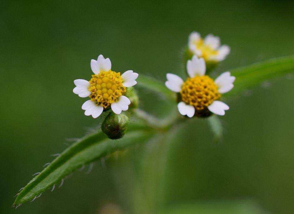 Photo in Nature #wildflower #quickweed #galinsoga ciliata