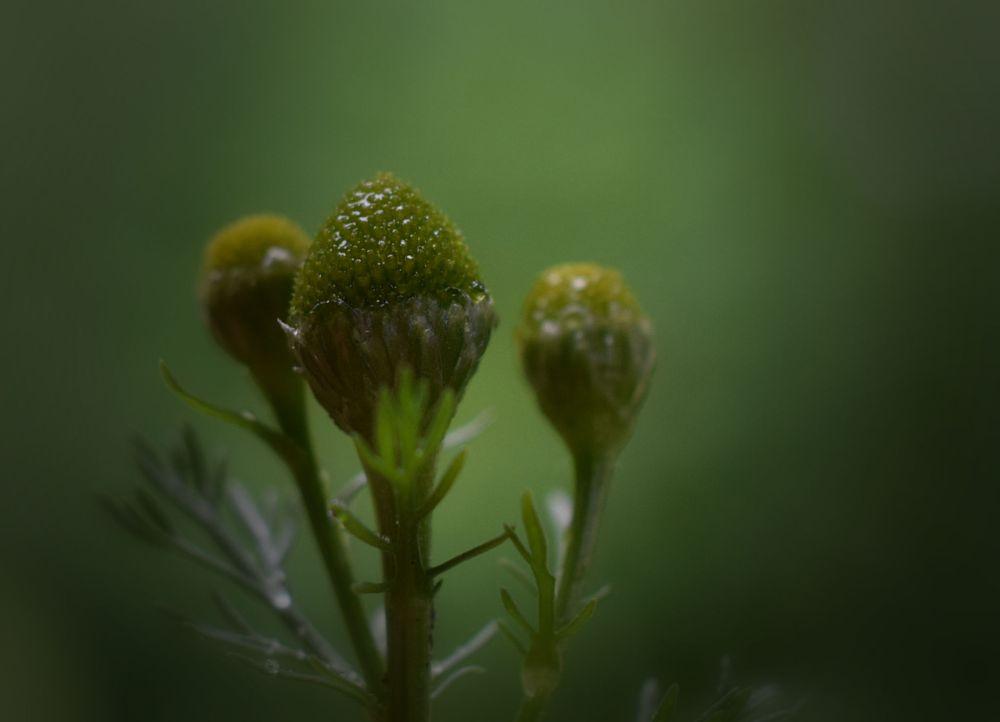 Photo in Nature #wildflower #pineapple-weed #matricaria discoidea