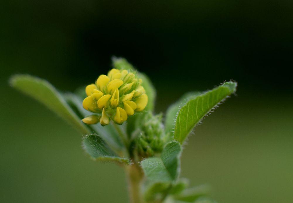 Photo in Nature #wildflower #flower #clover