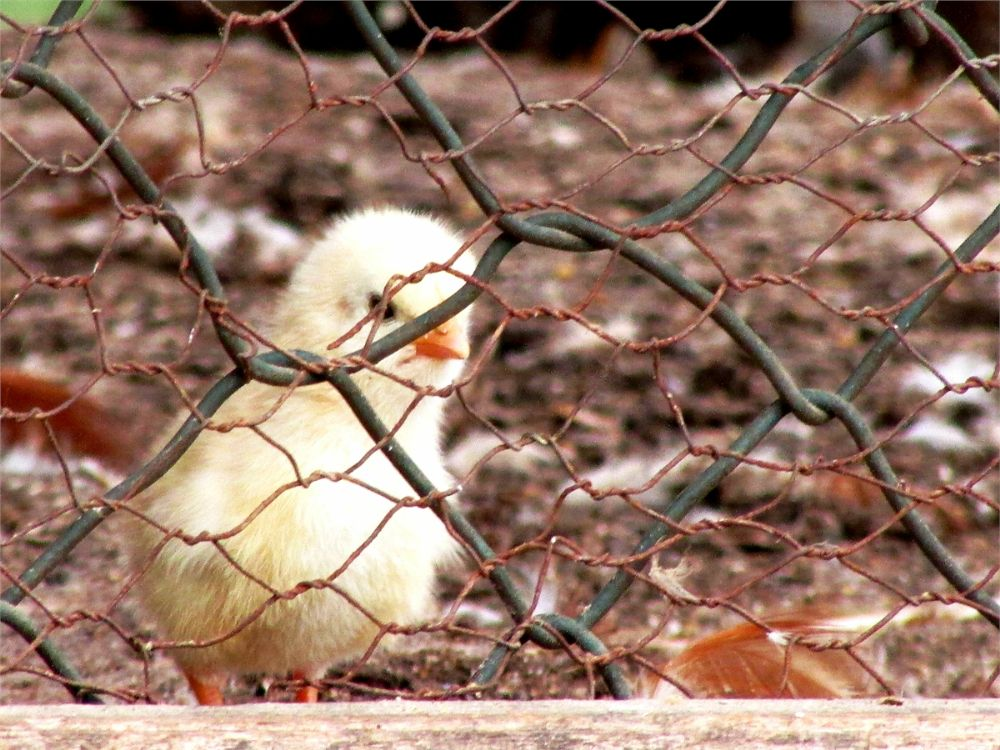 Photo in Animal #chick #animal #cage