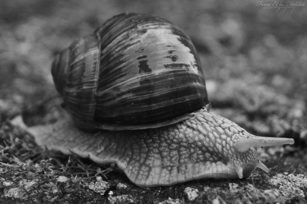 Photo in Animal #snail #schnecke #animal #tier #nature #natur #s/w #hdr