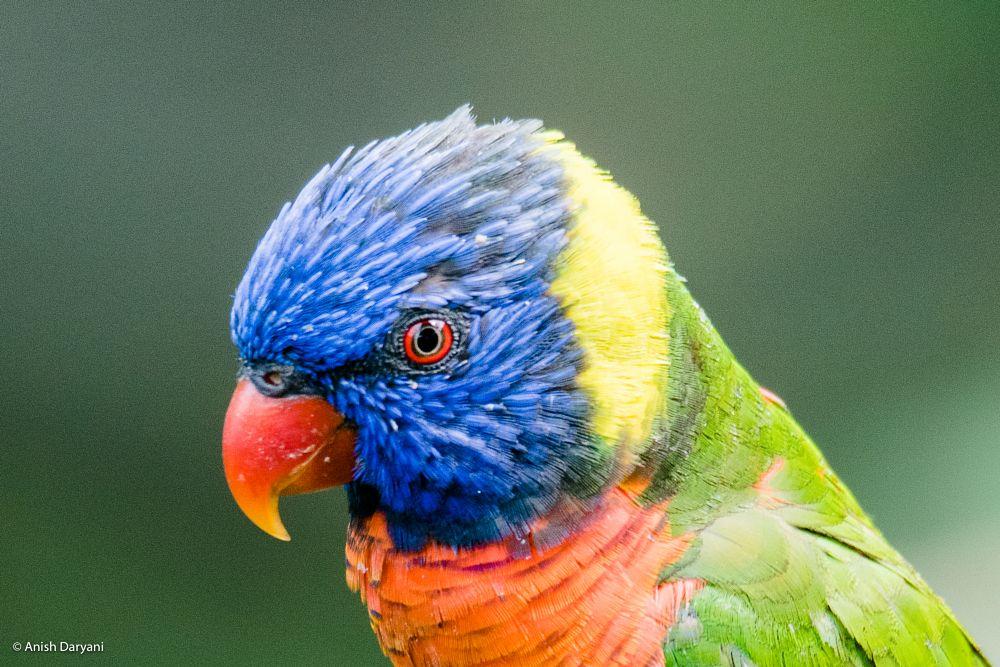 Photo in Animal #rainbow lori #rainbow lorikeet #rainbow lory #rainbow bird #lorikeet #ornithology #anish daryani photography #bird photography #wildlife photography #wildlife #australian wildlife #australia #nature photography #nature