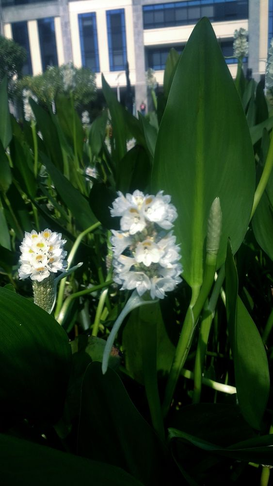Photo in Nature #flowers #nature #white flowers #brazil #rj