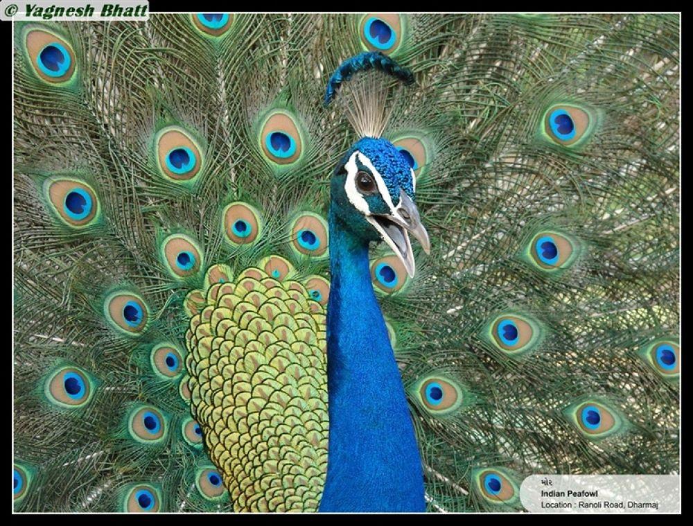 Photo in Random #in #display #indian #peafowl