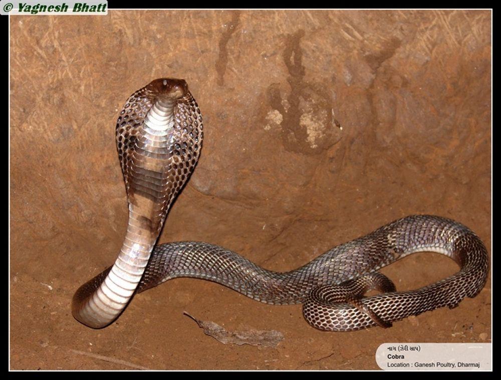 Photo in Random #cobra