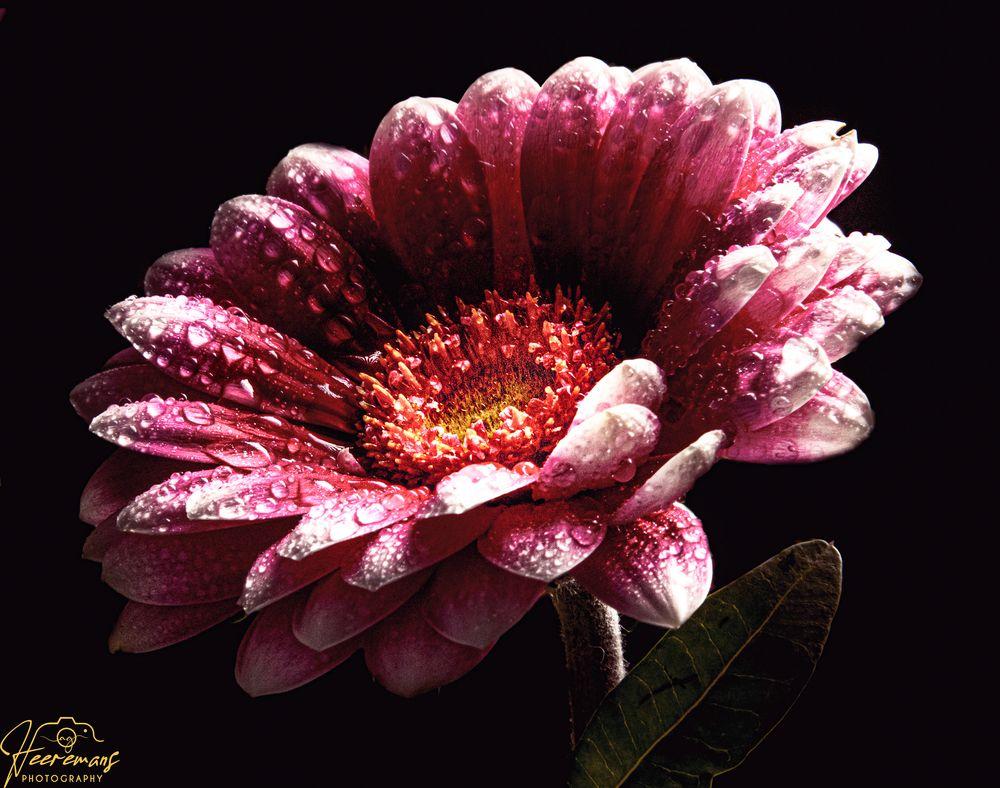 Photo in Random #canon #flower #macro #droplets #flowermacro #beautiful #detail #soft #delicate #intricate #feeling #emotion #story