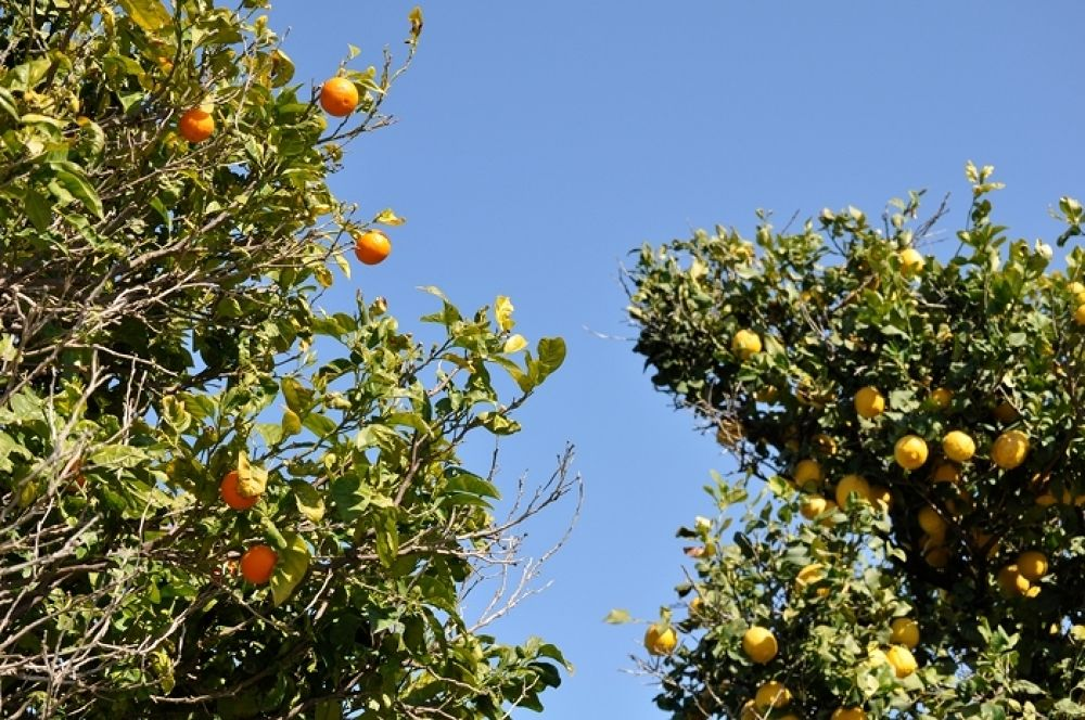 Photo in Landscape #citron #lemon