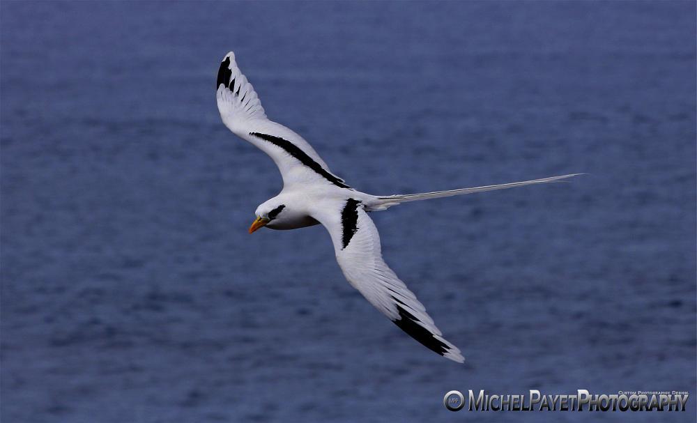 Photo in Animal #animals #birds #nature #wildlife #photographer #sea #tropical #reunion island #white #flying