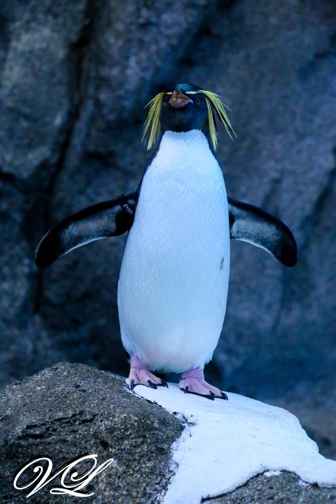 Photo in Animal #penguin #calgary zoo #zoo #animal