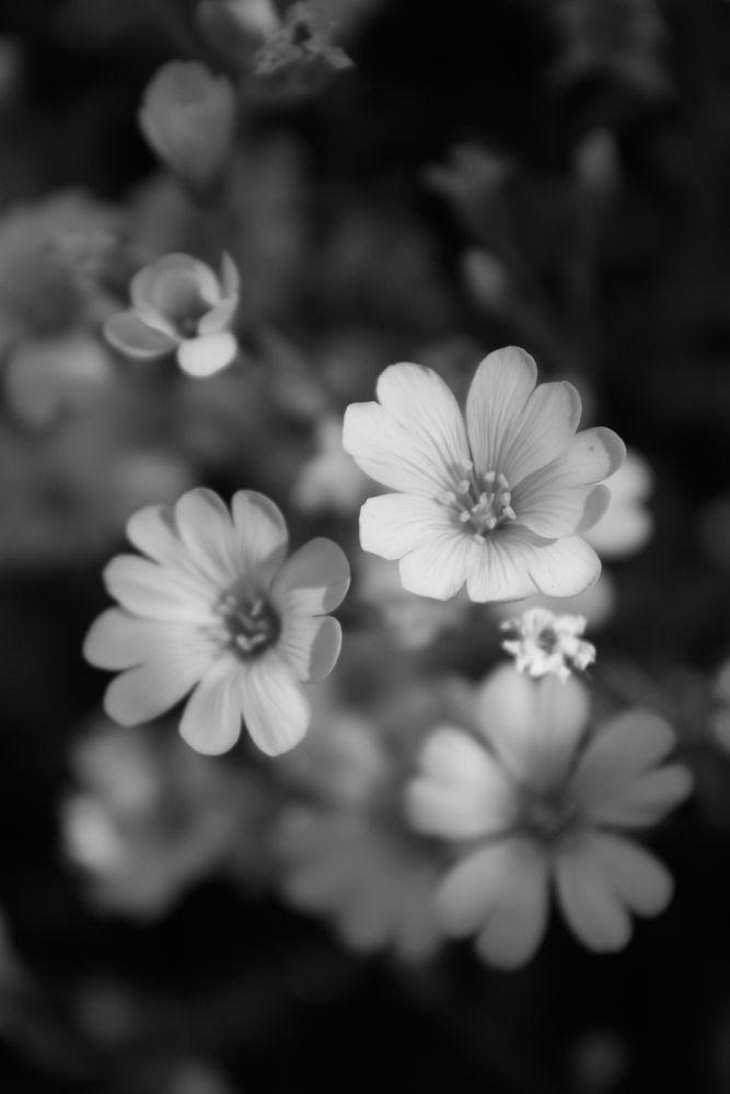 Photo in Black and White #flowers #macro photography #black and white #bw #monochrome #black and white photography #art photography #fine art photography #fine art #art #summer