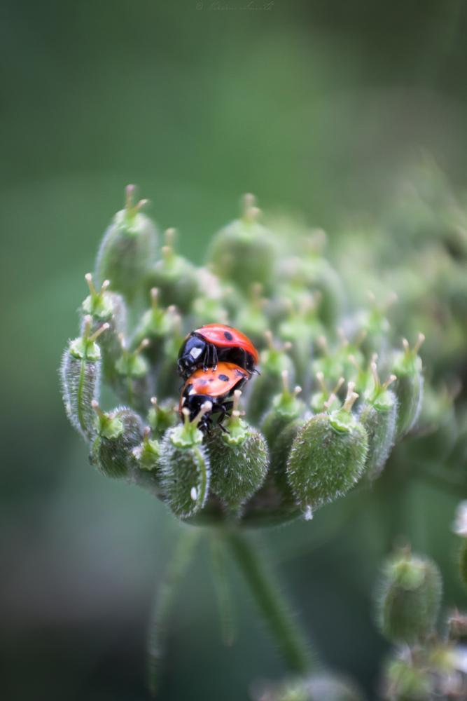 Photo in Animal #ladybird #ladybug #love #macro