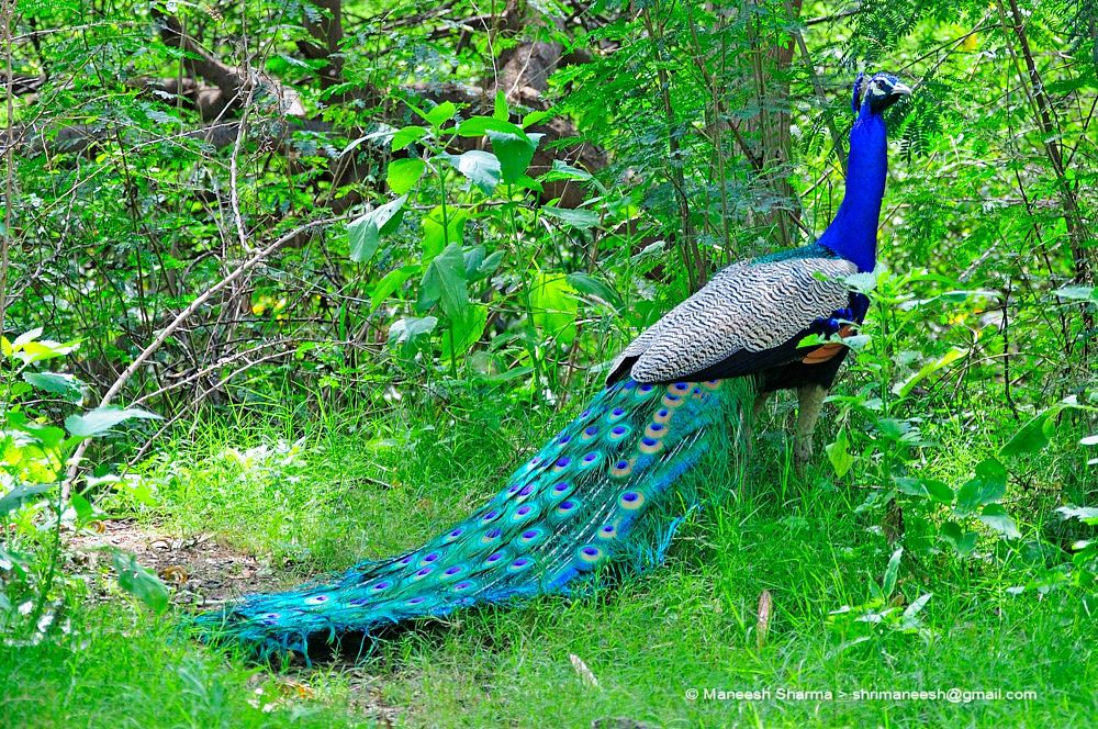 Photo in Nature #peacock #nature #wild #birds #animal