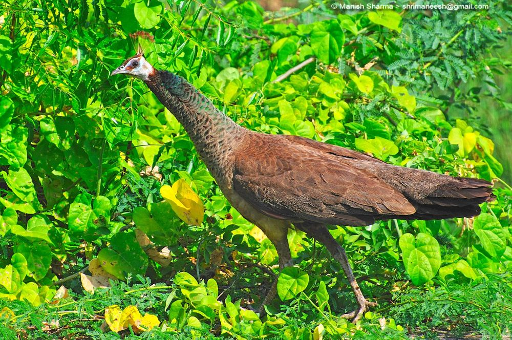 Photo in Nature #indian peahen #nature #wild #birds #animal