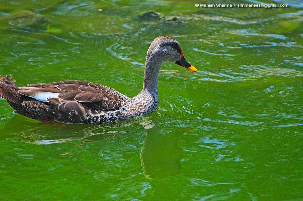 Photo in Nature #spot billed duck #nature #wild #birds #animal
