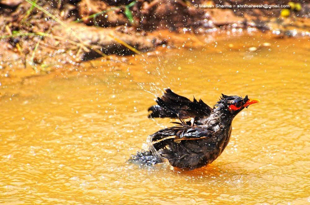 Photo in Nature #common myna #nature #wild #birds #animal