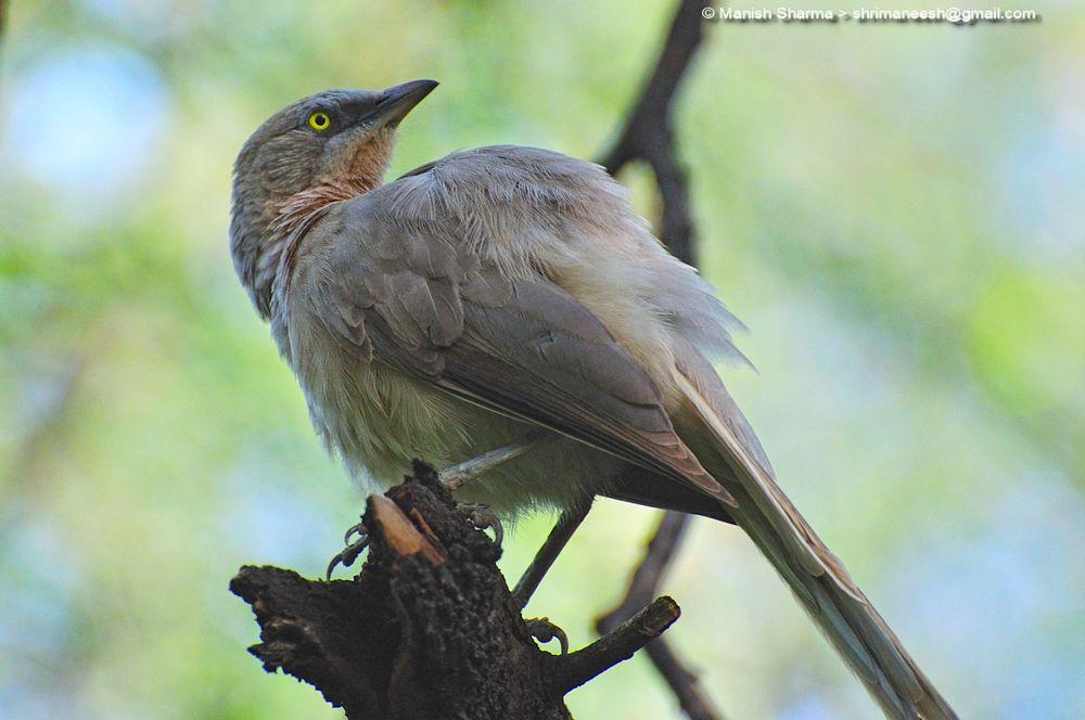 Photo in Nature #babbler #nature #wild #birds #animal