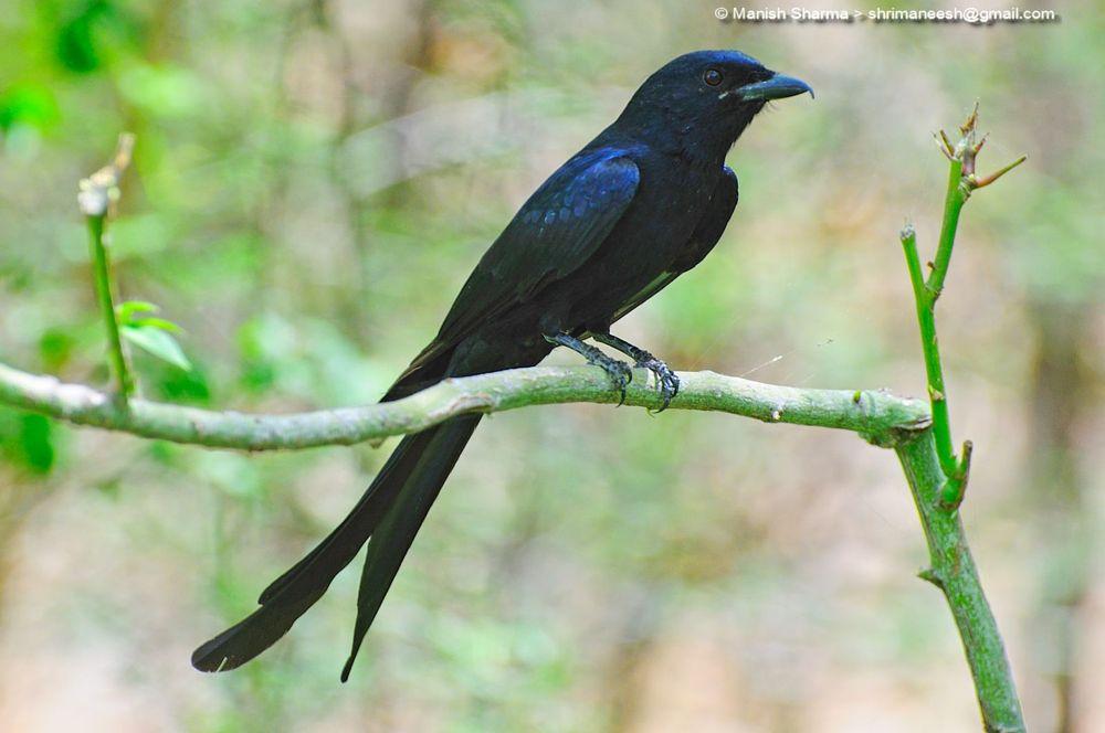 Photo in Nature #black drongo #nature #wild #birds #animal