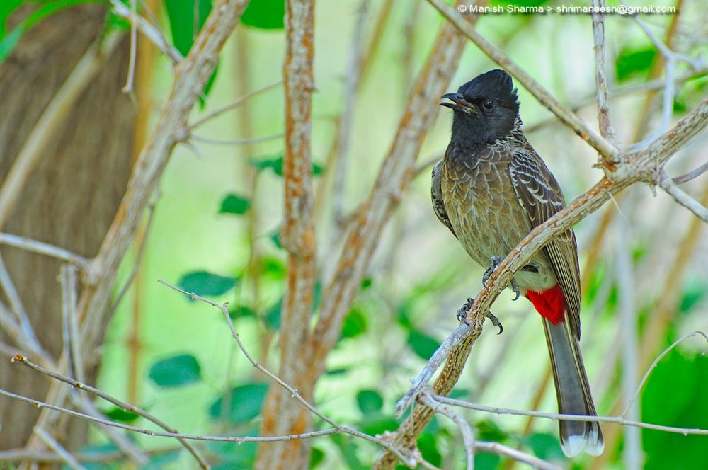 Photo in Nature #red vented bulbul. #nature #wild #birds #animal