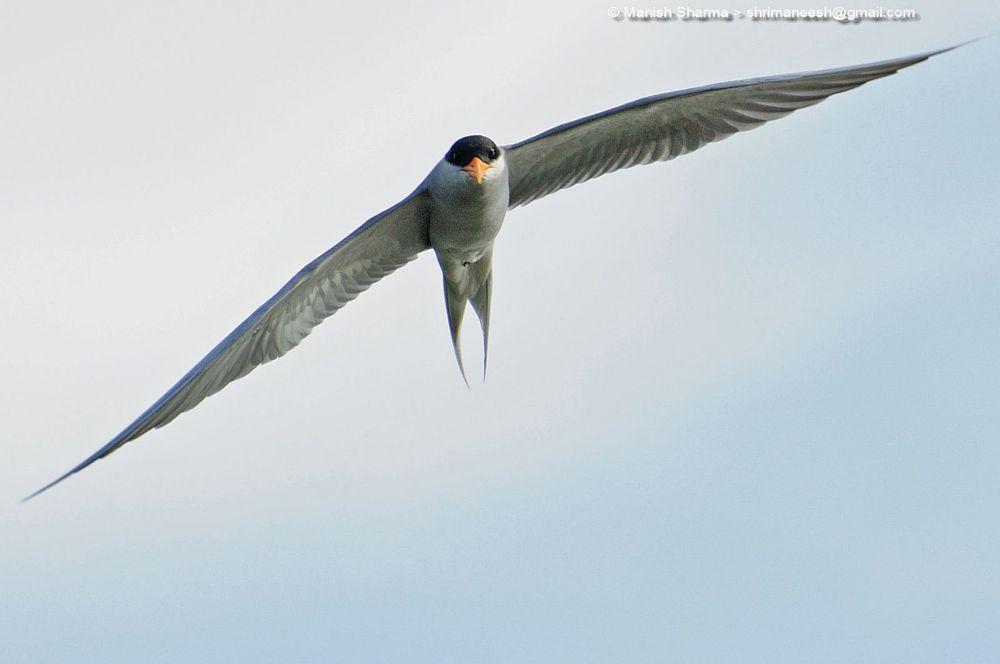 Photo in Nature #river tern #nature #wild #birds #animal