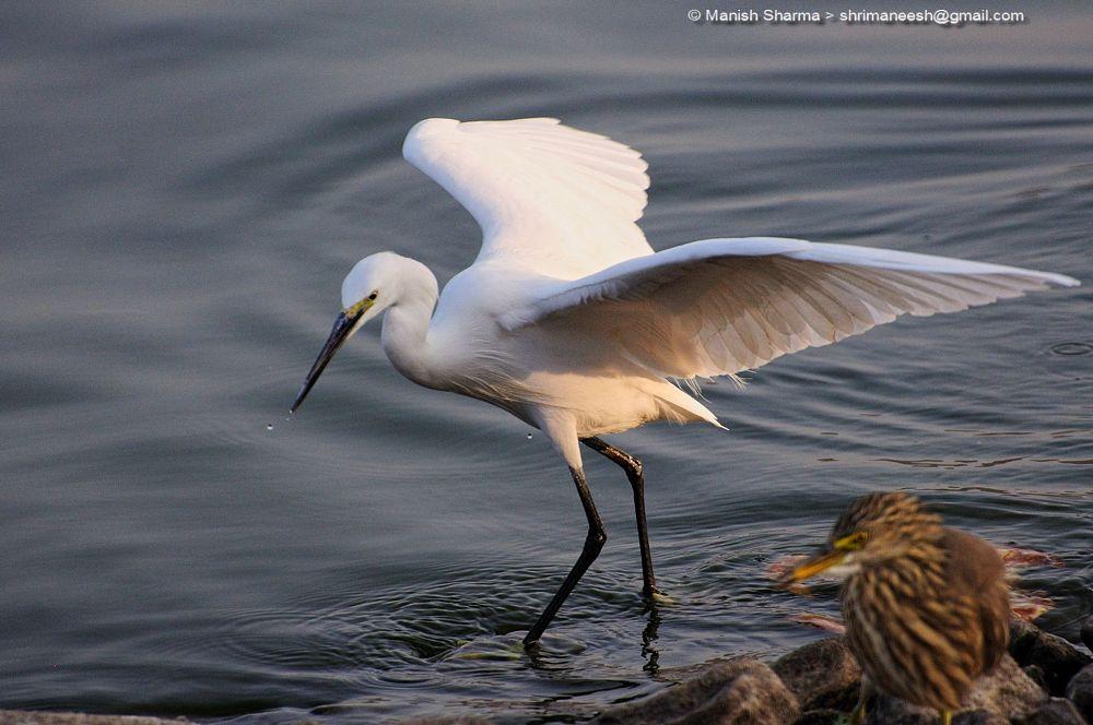 Photo in Nature #little egret. #nature #wild #birds #animal