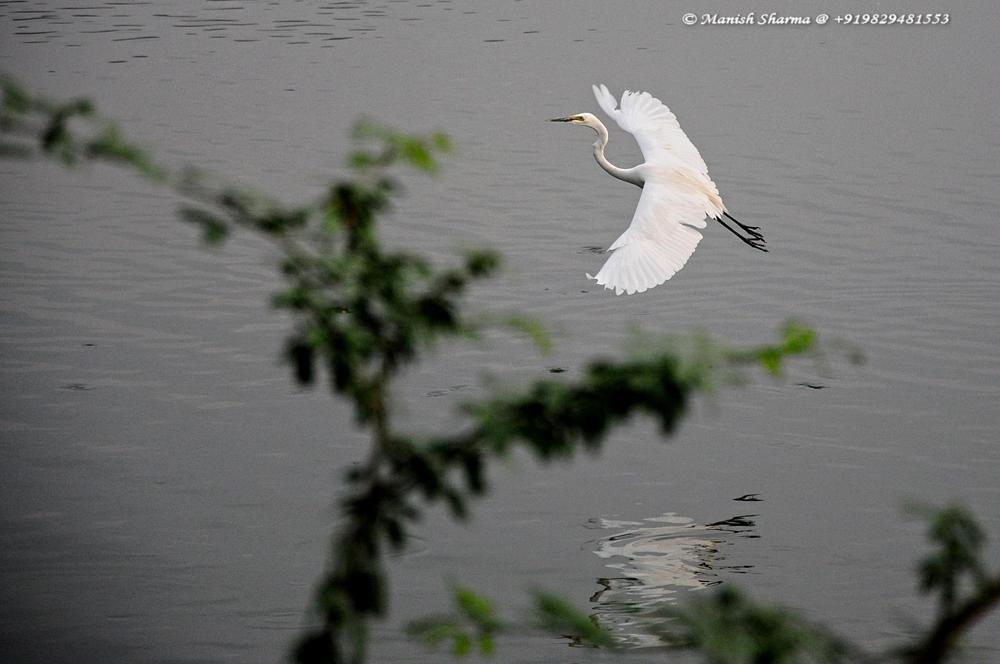 Photo in Nature #great egret #nature #wild #birds