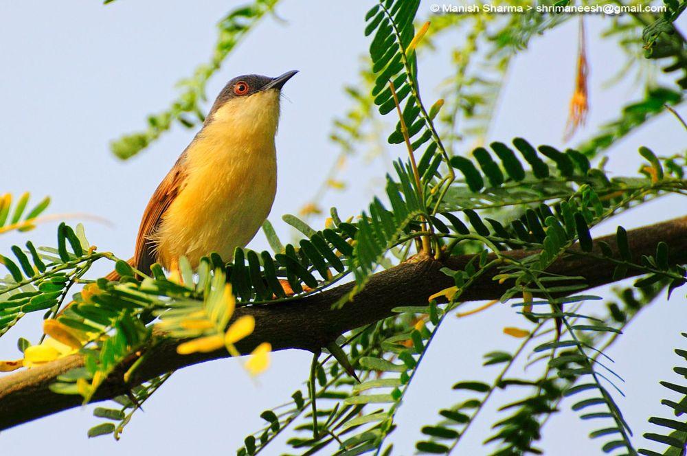 Photo in Nature #ashy prinia. #nature #wild #birds #animal
