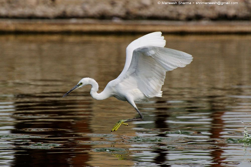 Photo in Nature #little egret #nature #wild #birds #animal