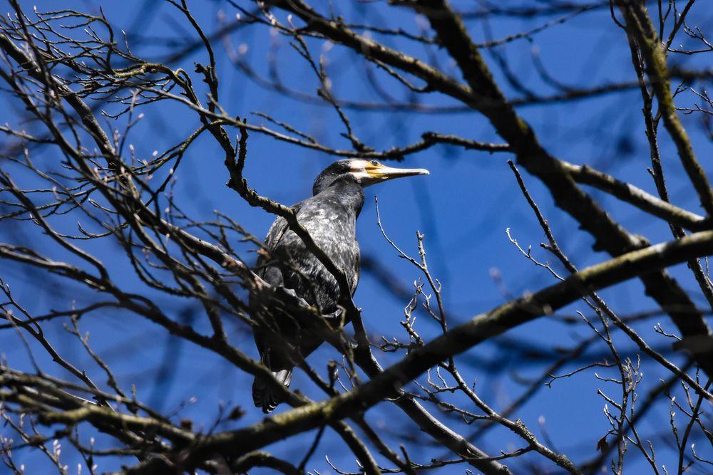 Photo in Animal #cormorant #water bird #bird #animal #tree #blue sky #sunny #impressive
