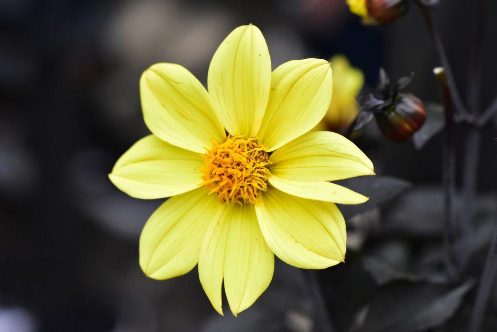 Photo in Random #dahlia #dahlia happy single party #flower #nature #yellow #blossom #macro #nikon #tamron