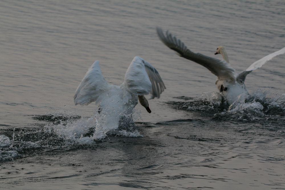 Photo in Animal #swan #dusk #evening #chase #fight #territory #bird #animal #animalphotography #birdphotography #birdwatching #italy #lake #water #lago maggiore #lago #maggiore #travel #canon #eos 70d #nature #naturephotography #light