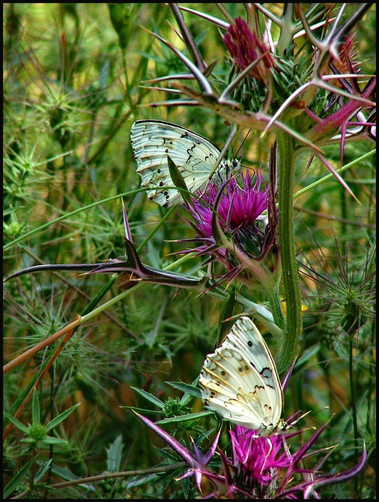 Photo in Animal #butterflies #thorn prickles #carmel