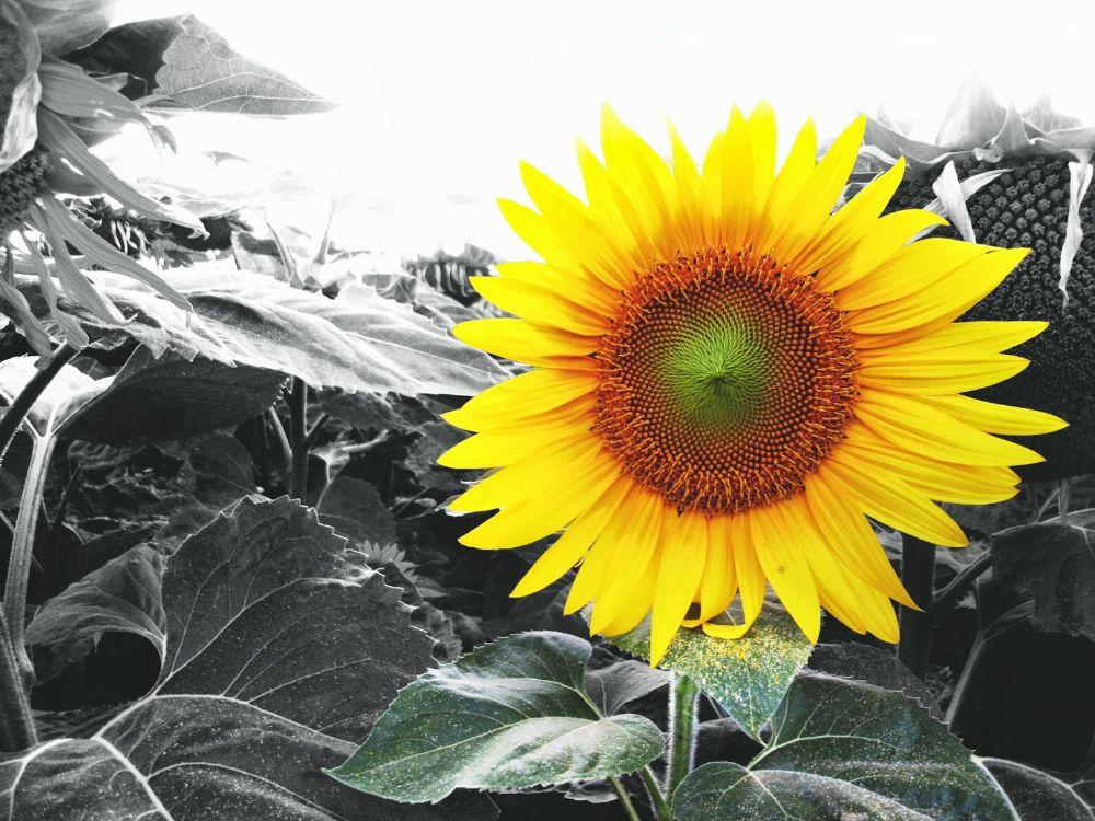 Photo in Nature #sunflower #sun #flower #nature #yellow #green #black #white