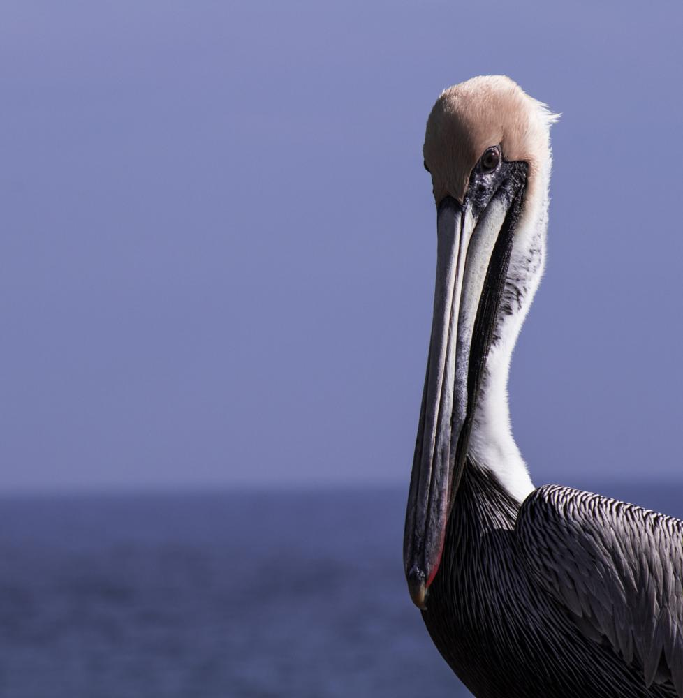 Photo in Animal #pelican #water #beach #florida