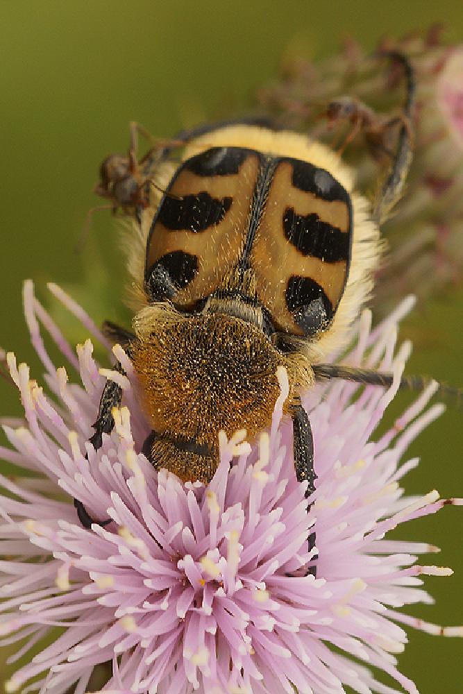 Photo in Macro #aaaa #arthropoda #coleoptera #henk wallays #insect #penseelkever #scarabeidae #trichius #trichius zonatus #beetle #close up #coleoptere #insecta #insecte #insekt #kafer #kever #macro #nature #natuur #tor #wildlife