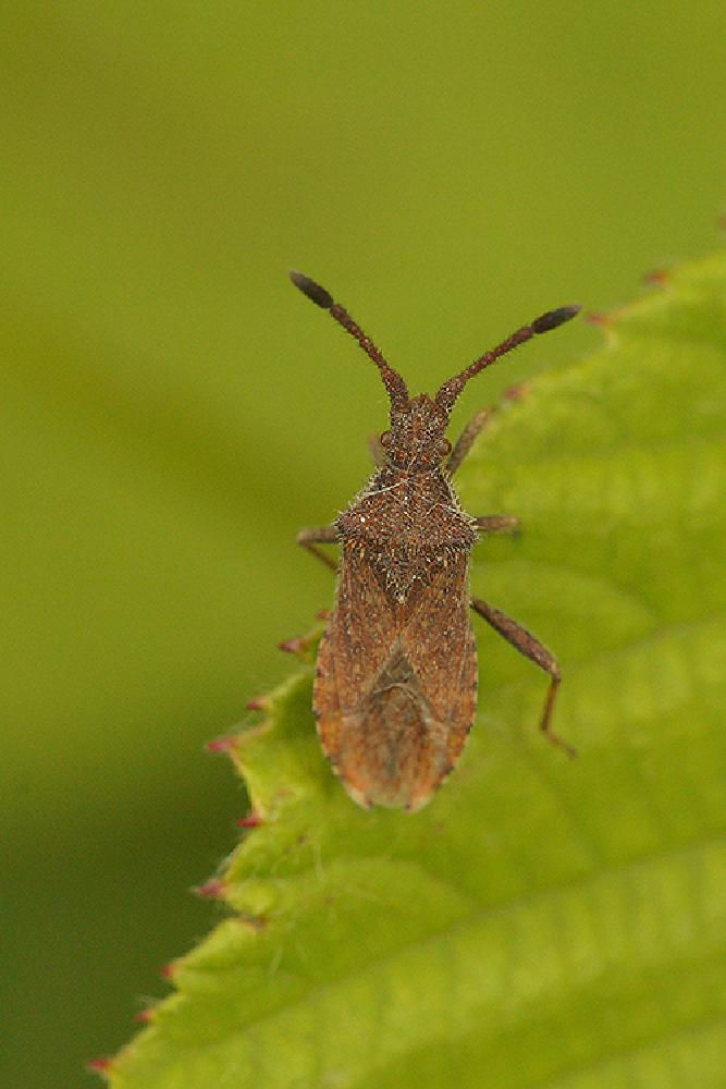 Photo in Macro #aaaa #arthropoda #belgium #coreidae #coriomeris #coriomeris denticulatus #europa #hemiptera #henk wallays #hémiptères #insect #location #miseriebocht #oost vlaanderen #schnabelkerfen #sint-joris ten distel #squashbug #squashbugs #vlaanderen #wantsen #bug #close up #hemiptere #insecta #insecte #insekt #macro #nature #natuur #punaise #shield bug #wants #wantze #wildlife