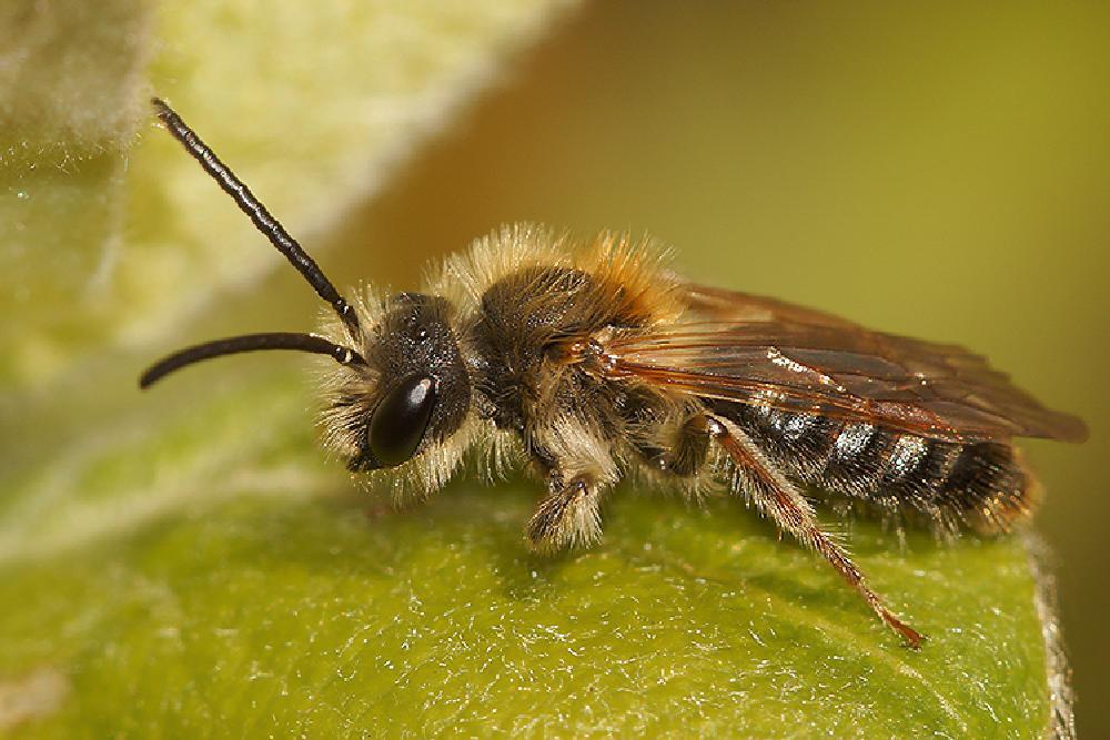 Photo in Macro #aaaa #arthropoda #andrena #andrena dorsata #andrenidae #anthophila #arı #asalari #bees #bier #blanokrídlovce #błonkoskrzydłe #erdbiene #gender #hautflügler #henk wallays #hymenoptera #insect #kiletiivalised #mehiläiset #opnokrilci #phûng-é #prave pčele #pszczolinka #stages #sand bees #sandbiene #sandbienen #sandbier #sandbin #solitärbiene #solitärbienen #steklar #wimperflankzandbij #zar kanatlılar #abeille #abeille sauvage #abejas #adult #antófilos #apiformes #bee #biene #bienen #bij #bijen #błonkówki #close up #erdbienen #himenópteros #hymenop