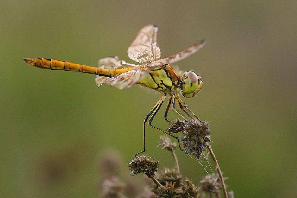 Photo in Macro #aaaa #arthropoda #anisoptera #anisotteri #belgium #den diel #dragonflies #echte libellen #europa #heidelibel #henk wallays #insect #location #libellulidae #libélula #limburg #loigukiil #lommel #odonata #skimmers #sympetrum #sympetrum species #syyskorennot #ważki różnoskrzydłe #yusufçuk #anisoptere #anisoptères #anisópteros #close up #darter #darters #dragonfly #egyenlőtlen szárnyú szitakötők #heidelibellen #insecta #insecte #insekt #lavadeira #libelinha #libeller #libelulles #macro #meadowhawks #nagy szitakötők #nature #natuur #rodzaj ważek