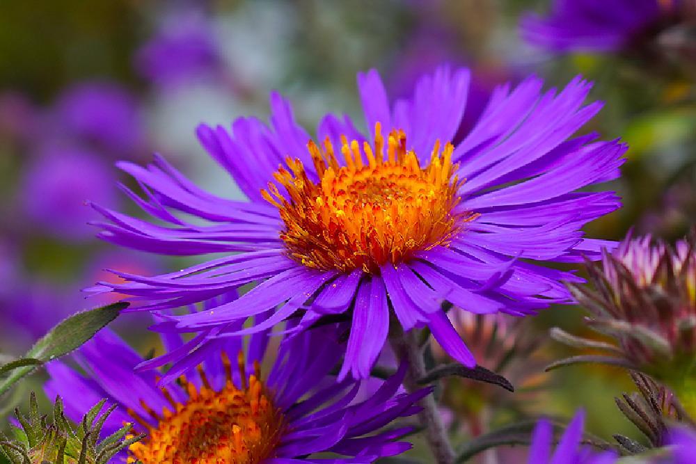 Photo in Macro #2013 #2013-10 #aaaa #aster #aster tripolium #asteraceae #flora #henk wallays #plants #close up #macro #nature #natuur #wildlife