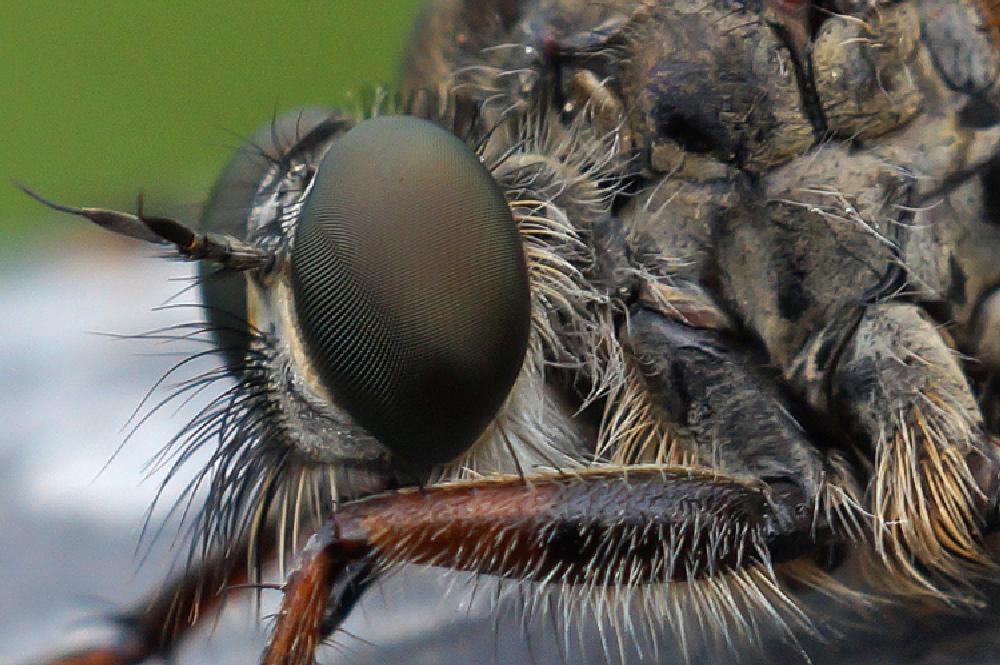 Photo in Macro #2013 #2013-08 #aaaa #arthropoda #asilidae #asiloidea #diptera #henk wallays #insect #machimus #machimus atricapillus #close up #flies #fly #gewone roofvlieg #insecta #insecte #insekt #macro #mouche #nature #natuur #tweevleugeligen #vlieg #wildlife