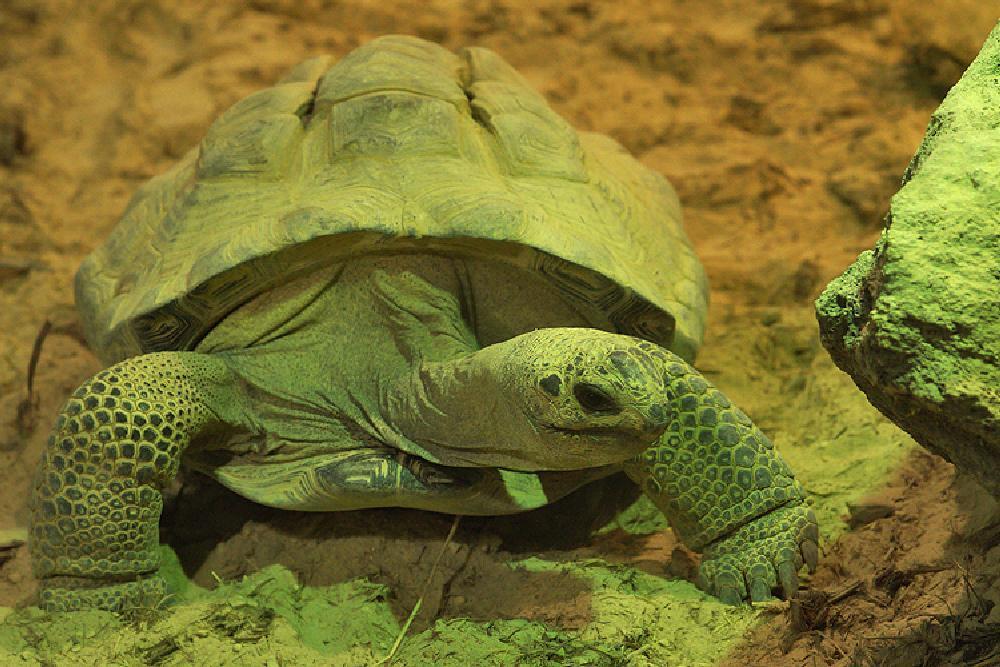 Photo in Macro #2013 #2013-08 #aaaa #aldabra giant tortoises #aldabrachelys gigantea #chordata #dipsochelys dussumieri #henk wallays #landschildpadden #reptilia #schildpadden #seychellenreuzenschildpad #testudines #testudinidae #close up #gewervelden #macro #nature #natuur #reptielen #reptile #reptiles #tortoise #tortoises #vertebrata #vertebrate #wildlife
