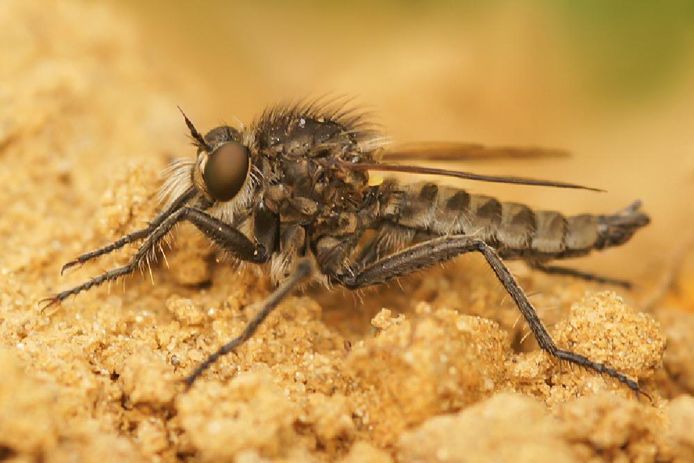 Photo in Macro #2013 #2013-06 #aaaa #arthropoda #asilidae #asiloidea #borstelroofvlieg #diptera #dysmachus #dysmachus trigonus #henk wallays #insect #close up #flies #fly #insecta #insecte #insekt #macro #mouche #nature #natuur #tweevleugeligen #vlieg #wildlife