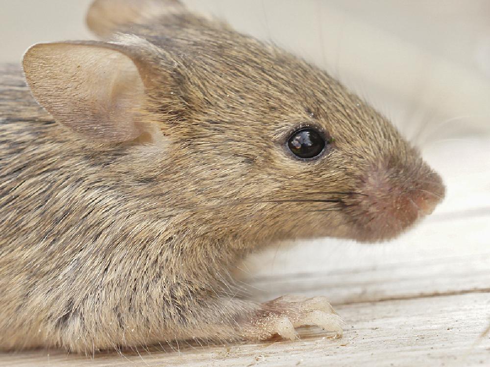 Photo in Animal #2013 #2013-05 #aaaa #chordata #hausmaus #henk wallays #mammalia #mus #mus musculus #rodent #rodentia #souris grise #camundongo #close up #gewervelden #house mouse #huismuis #knaagdier #macro #mammiferes #mouse #muis #muizen souris #nature #natuur #rato-doméstico #ratón casero #ratón común #ratón doméstico #topo comune #vertebrata #vertebrate #wildlife #zoogdier #zoogdieren